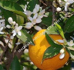 Natural Bergamot Essential Oil