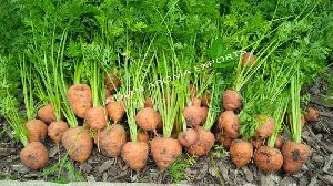Natural Carrot Seed Essential Oil