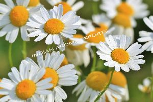 Natural Chamomile Orange Essential Oil
