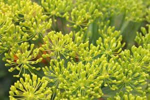 Natural Fennel Essential Oil