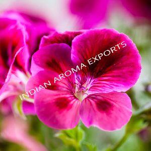 Natural Geranium Essential Oil
