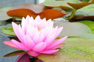 Natural Lotus Essential Oil