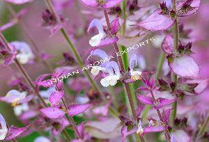 Natural Sage Essential Oil