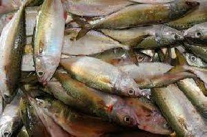 Curtly Fish