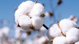 Indian Raw Cotton