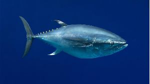 Fresh Bluefin Tuna Fish