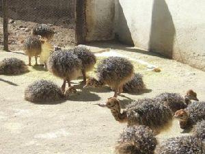 Mature Ostrich Birds