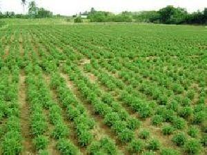 Rice Contract Farming Service
