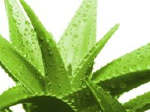 Fresh Aloe Vera Leaves