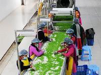 Frozen Peas Processing Plant