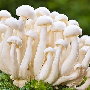 Fresh Milky Mushroom