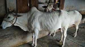 Live Tharparkar Cow