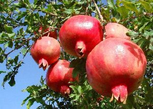 Indian Pomegranate Fruit