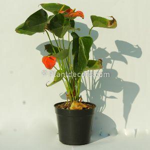 Anthurium - Anthurium Suppliers, Anthurium Wholesalers & Exporters