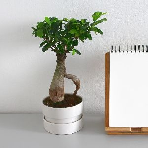 Grafted Ficus Bonsai Plant