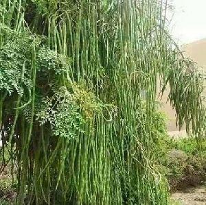 Moringa Supergenius Hybrid Seed