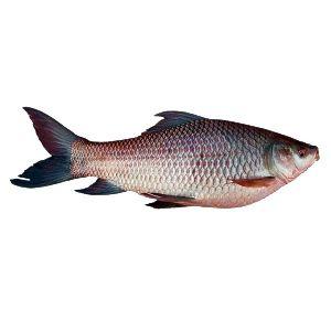 Fresh Rohu Fish
