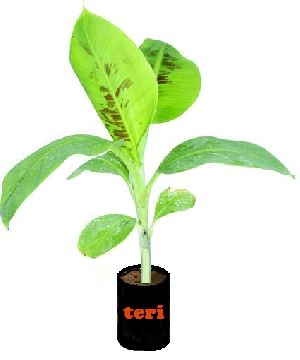 Banana Tissue Cultured Plants Suppliers Amp Wholesalers