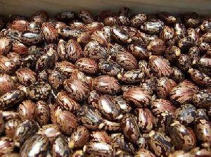 100% natural castor seed