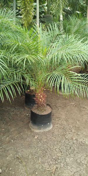 Palm Varieties