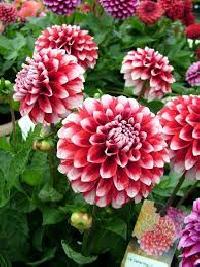 Plant Summer Flowers