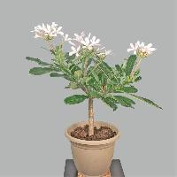 Plumeria Obtusa Live Plants