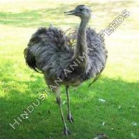 Emu Starter Feed
