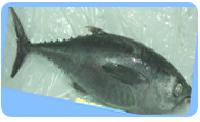 Big Eye Tuna Fish