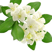 Arabian Jasmine Absolute Oil