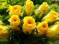 Gold Strike Yellow Rose