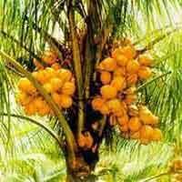 Chowghat Orange (dwarf)