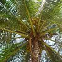 East Coast Tall-coconut Plants