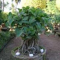 Ficus Benghalensis Plant