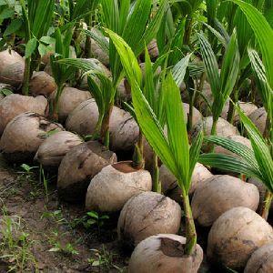 Coconut Baby Plants