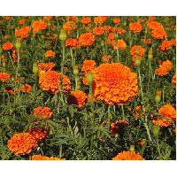 P2 Hybrid F1 Lutein Marigold Seeds