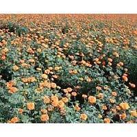 pari 24 marigold f1 hybrid seeds