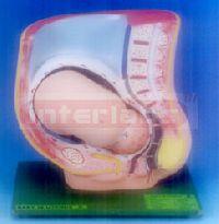pregnancy pelvis model