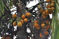 Fresh Betel Nuts