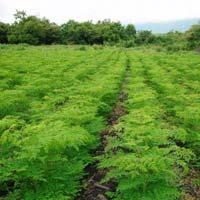 Moringa Drumstick Plants