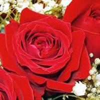 Fresh Red Rose