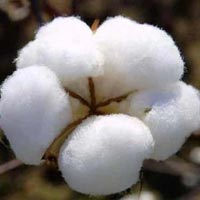 Raw Cotton-01