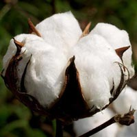 Raw Cotton-02