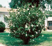 Ornamental Shrub Plant