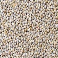 Green Millet-bajra
