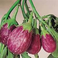 Vegetable Seeds of Brinjal Neelam Fruits