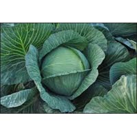 Vegetable Seeds of Cabbage Tropicana
