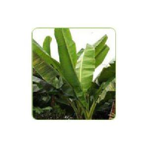 Musa Plants