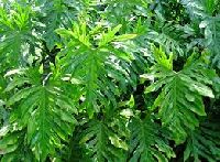 Philodendrons Plants