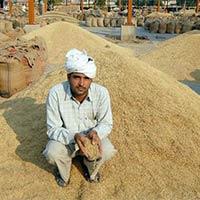 1121 Basmati Rice Paddy