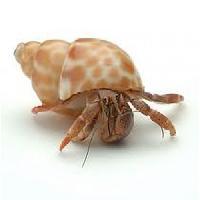 Hermit Crab Shell